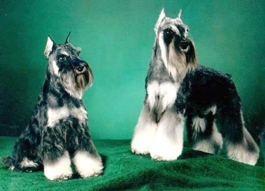 Photo of two Schnauzers