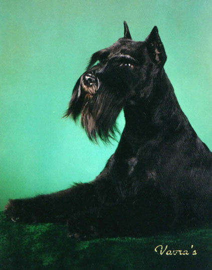 photo of black schnauzer