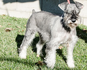 Photo of Rescue Schnauzer Maxwell