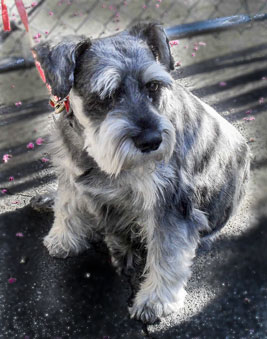 Photo of Rescue Schnauzer Buddy