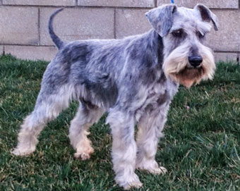 Photo of Rescue SchnauzerChandlere