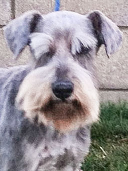 Photo of Rescue Schnauzer Chandler