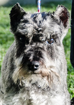 Photo of Rescue Schnauzer Cookie