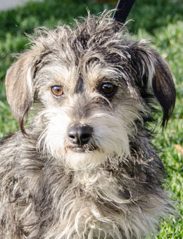 Photo of Rescue Schnauzer Mix Cornell