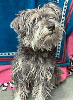 Photo of Rescue SchnauzerDuncan