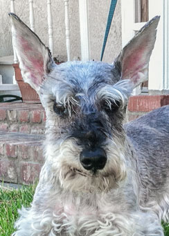 Photo of Rescue Schnauzer Garrett