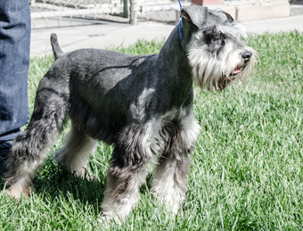 Photo of Rescue Schnauzer George