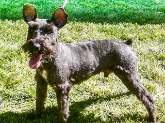 Photo of Rescue Schnauzer Henry