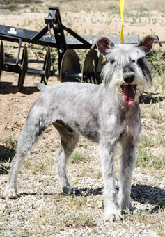 Photo of Rescue Schnauzer Hugh