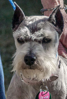 Photo of Rescue Schnauzer Lola
