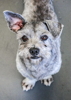 Photo of Rescue Schnauzer Lucky