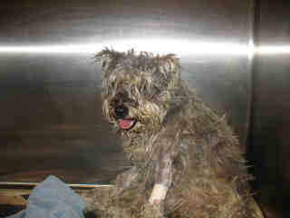 Photo of Rescue Schnauzer Maggie in Shelter