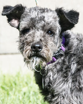 Photo of Rescue Schnauzer Millie
