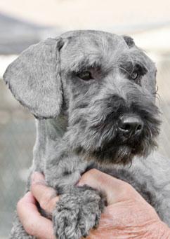 Long haired dachshund schnauzer mix