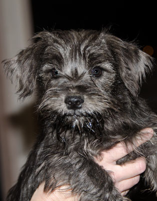 Photo of Rescue Schnauzer Puppy Artemis