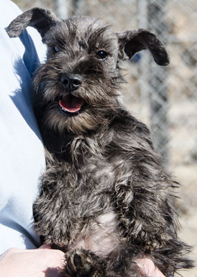 Photo of Rescue Schnauzer Puppy Athena
