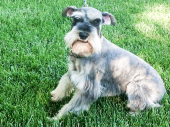 Photo of Rescue Schnauzers Baron and Bailey