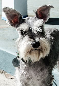 Photo of Rescue Schnauzer Puppy Bailey