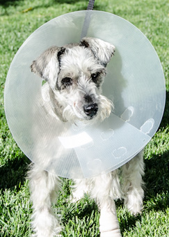 Photo of Rescue Schnauzer Bella