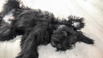 Photo of Rescue Schnoodle Bella