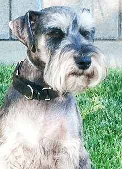 Photo of Rescue Schnauzer Bently