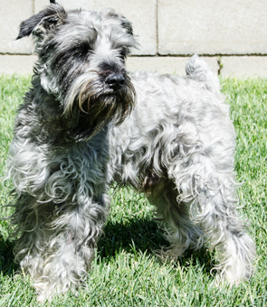 Photo of Rescue Schnauzer Bradley
