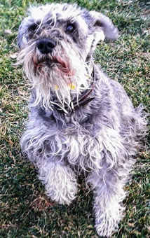 Photo of Rescue SchnauzerBrendan