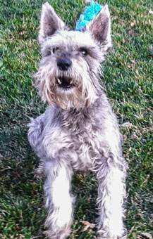 Photo of Rescue Schnauzer Bronson