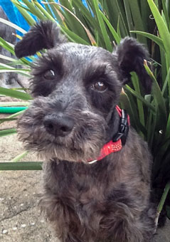 Photo of Rescue Schnauzer Charlie