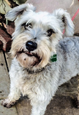 Photo of Rescue Schnauzer Chloe