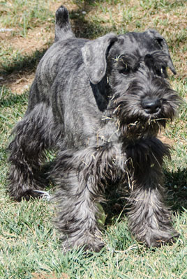 Photo of Rescue Schnauzer Puppy Cole