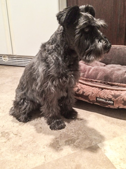 Photo of Rescue Schnauzer Mix Barry