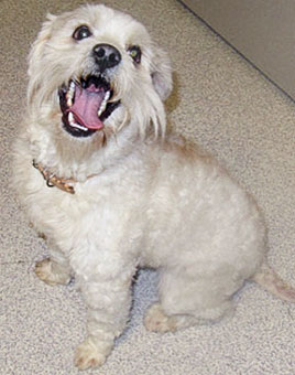 Photo of Rescue Schnoodle Crockett