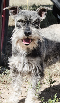 Photo of Rescue Schnauzer Curtis