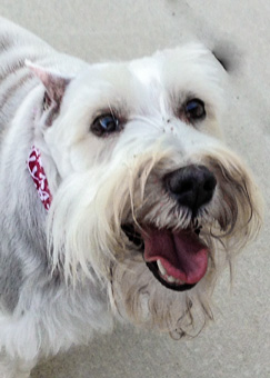 Photo of Rescue Schnauzer Dolly