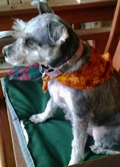 Photo of Rescue Schnauzer Dorothy