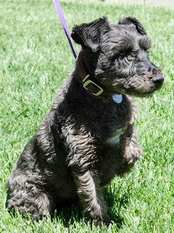 Photo of Rescue Schnauzer Freddy