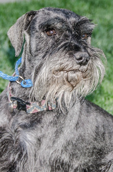 Photo of Rescue Schnauzer Gibbs