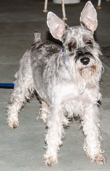 Photo of Rescue Schnauzer Gidget