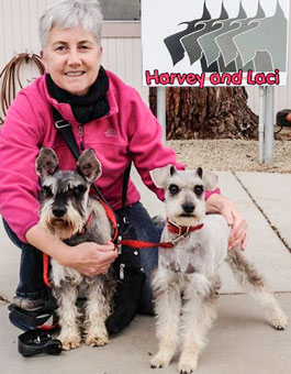 Photo of Rescue Schnauzers Harvey and Laci