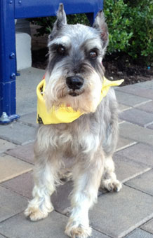 Photo of Rescue Schnauzer Hogan