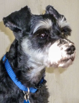 Photo of Rescue Schnauzer Wenley