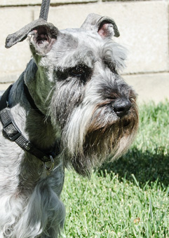 Photo of Rescue Schnauzer Leonardo