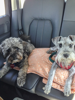 Photo of Rescue Schnauzer Maggie