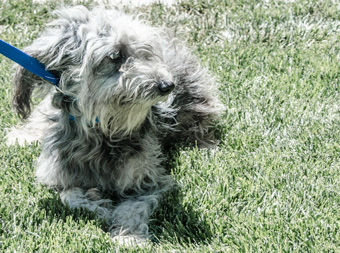 Photo of Rescue Schnauzer Mix Mateo