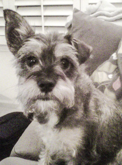 Photo of Rescue Schnauzer Mix Mia