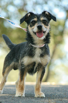 Photo of Rescue Terrier Mix Oakley