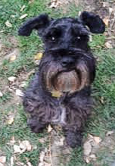 Photo of Rescue Schnauzer Oreo