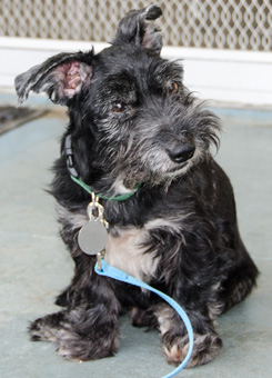 Photo of Rescue Terrier Orson
