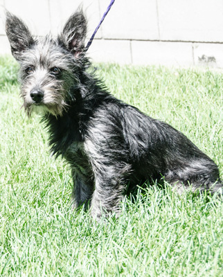 Photo of Rescue Terrier Ozzie